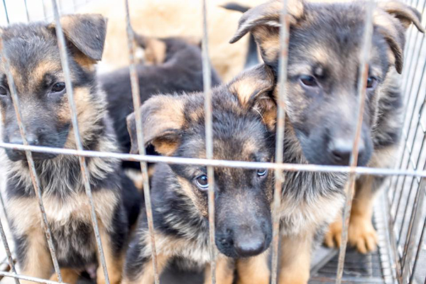 caged-brown-and-black-dogs-1