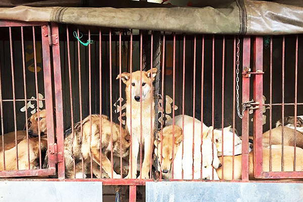 group-of-caged-dogs
